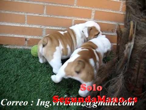 Regalo Dos Hermosos cachorros Bulldog ingles macho y hembra