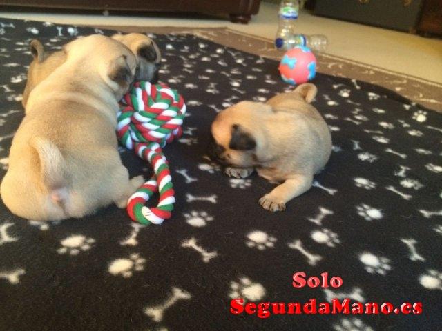 Regalo Hermosos cachorros de pug con pedigri