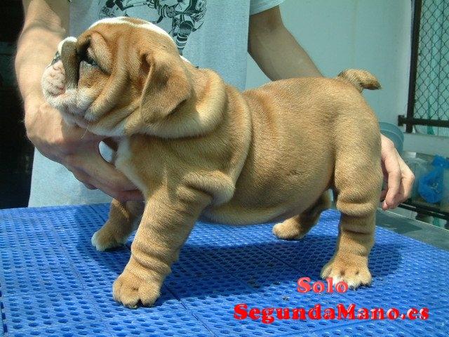 Regalo Lindo y Adorable Bulldog Inglés cachorros para la