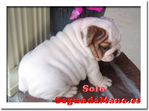 Regalo MAGNIFICOS EJEMPLARES DE BULLDOG INGLES DISPONIBLES