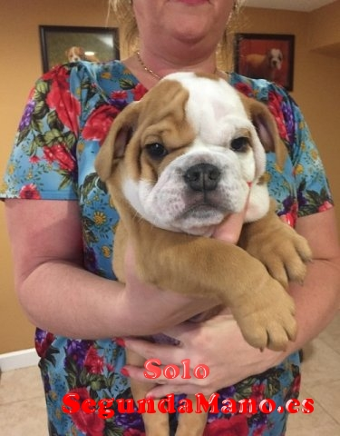 Regalo Macho y hembra cachorros bulldog Inglés disponibles
