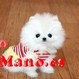 Regalo Preciosos Cachorros Pomeranian Pequeño