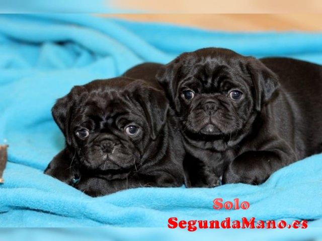 Regalo Pug Carlino Cachorros !!!!