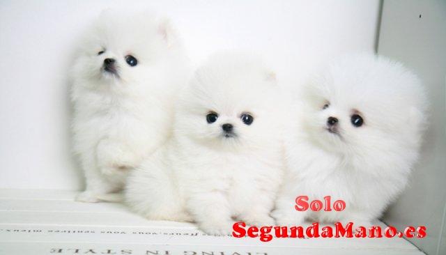 Regalo adorables toy pomeranian cachorros