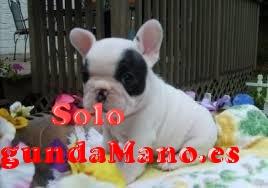 Regalo bulldog francés cachorros para adopcion gratis !!!