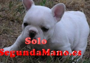 Regalo cachorro bulldog frances macho y hemb
