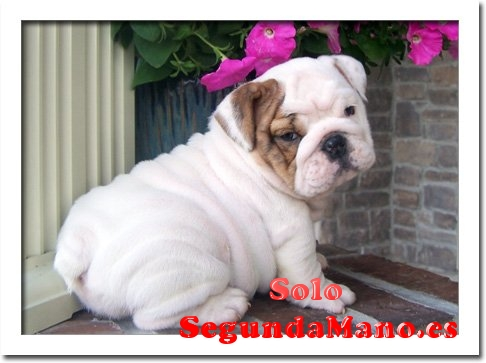 Regalo cachorros Bulldog Ingles