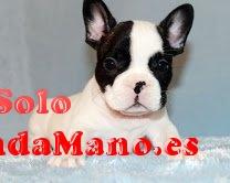 Regalo cachorros bulldog francés para la adopción