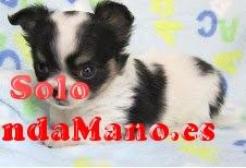 Regalo cachorros de chihuahua en adopcion libre