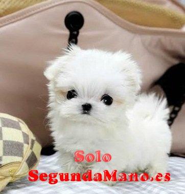 Regalo cachorros malteses Mini juguete