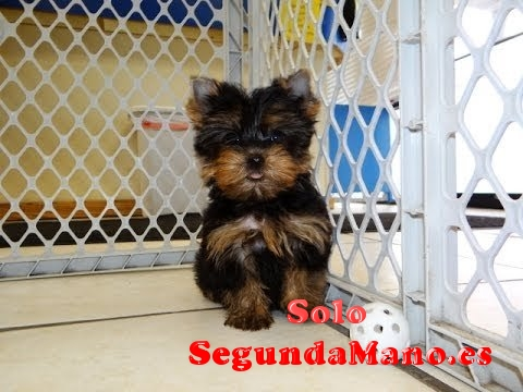 Regalo cachorros toy de yorkshire terrier