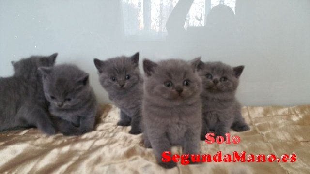Regalo de british shorthair gatitos