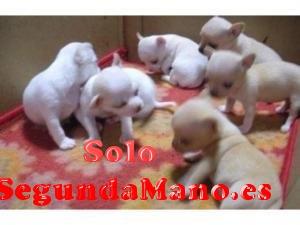 Regalo de chihuahua cachorros////////////