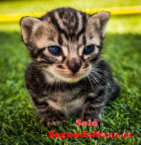 Regalo gatitos comunes de un mes