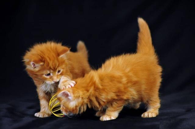 Regalo gatitos maine coon