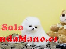 Regalo lindo cachorros pomerania toy macho y hembra