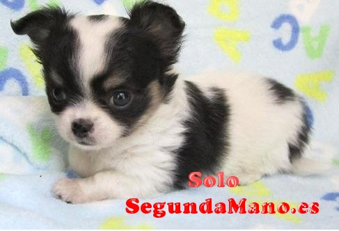 Regalo mini toy Cachorros Chihuahua machos y hembras