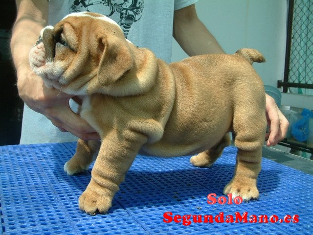 Regalo muy bonito cachorros de bulldog inglés