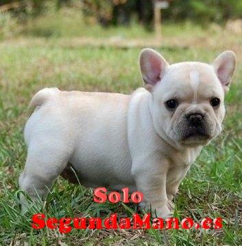 Regalo preciose cachorros Bulldog francaise mini toy gratis