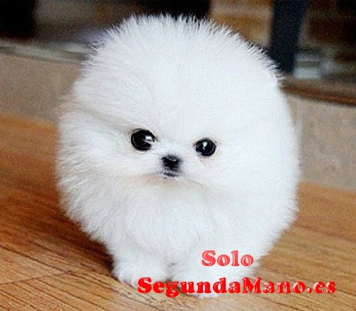 Regalo preciose cachorros pomeranian mini toy gratis