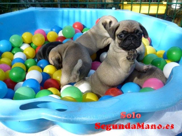 Regalo preciose carlino pug cachorros toy para adopcion