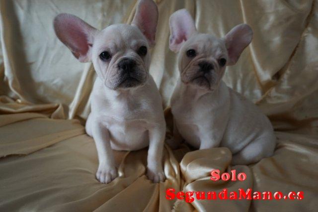Regalo precioso cachorros de bulldog francés