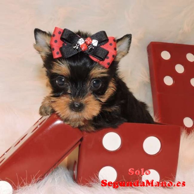 Regalo toy cachorros yorkshire terrier yorkie