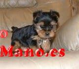 Regalo toy cachorros yorkshire terrier yorkie nuevo