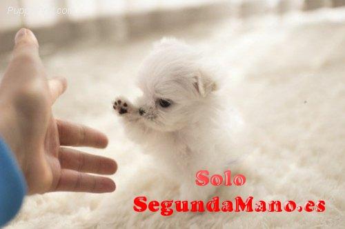 Saludables y entrenados Maltés cachorros para adopción