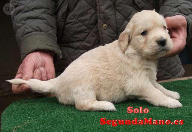 Se regalan cachorron de golden terrier
