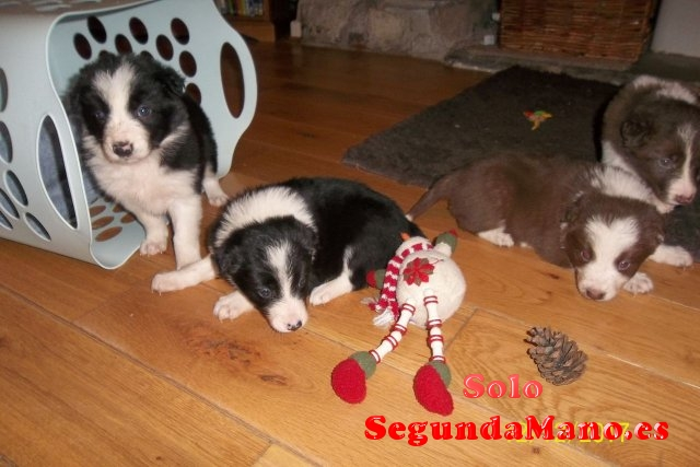 Se venden cachorros border collie machos y hembras,