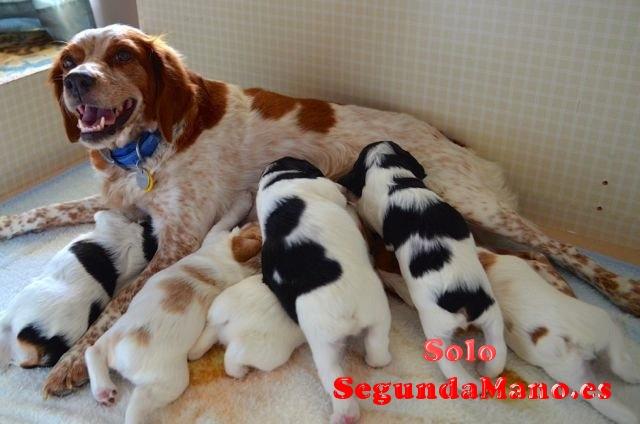 Se venden cachorros de breton