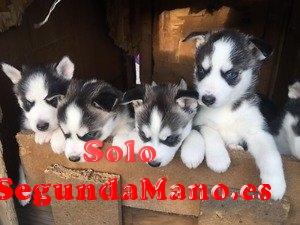 Siberian husky cachorros para adopcion gratis