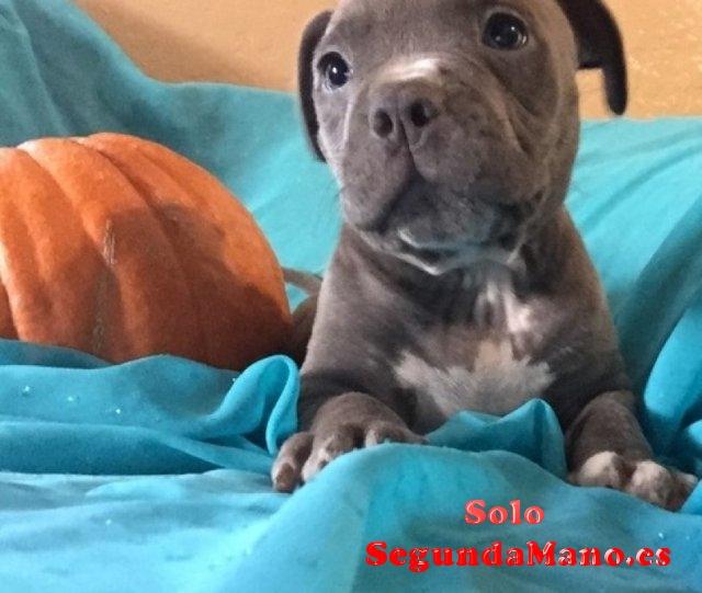 Vendo Américan Pitbull terrier
