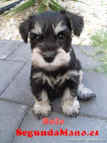Vendo cachorros de Schnauzer miniatura