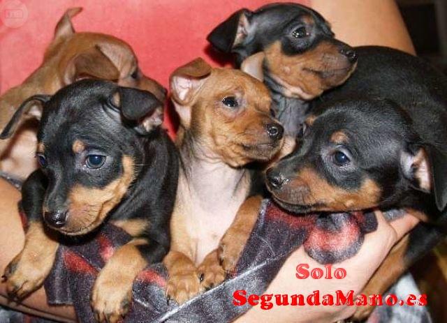 autenticos cachorritos mini pincher