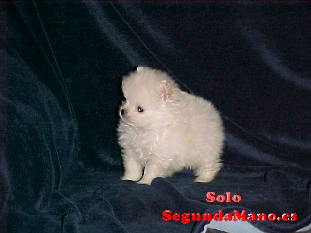 cachorros Pomeranian taza de té para adopcioin