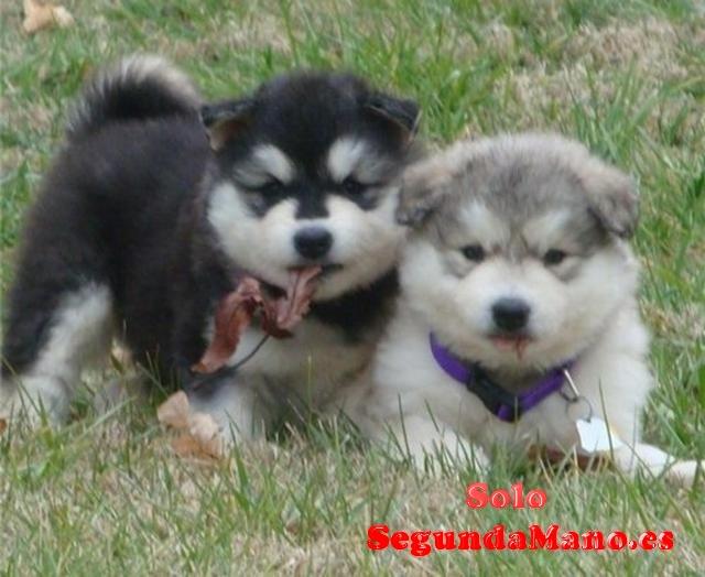 cachorros Siberian Husky