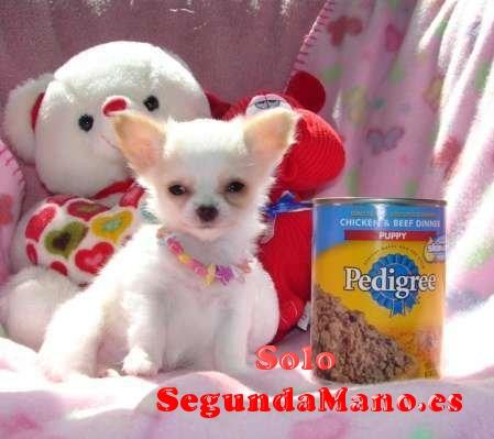 cachorros chihuahua disponibles juguete.