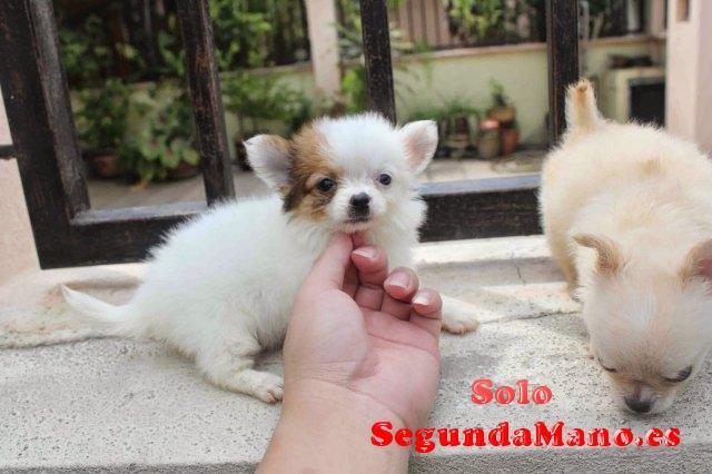 cachorros chihuahua para la adopción