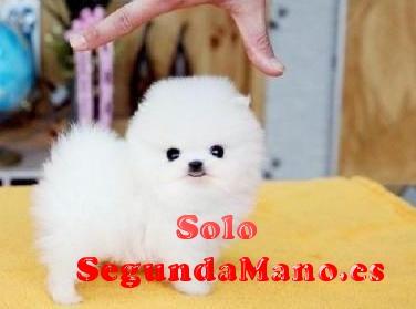 cachorros de Pomerania lindo macho y hembra