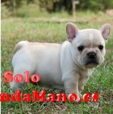 cachorros de bulldog francés macho y hembra en busca de