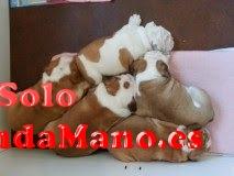 cachorros de bulldog inglés adopcion