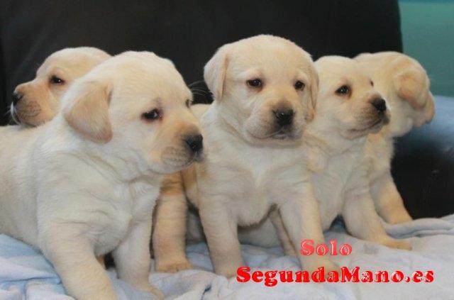 cachorros de labrador machos y hembras