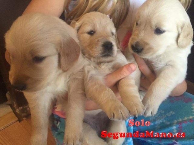 cachorros de lindo golden retriever en venta