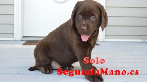 cachorros de pura raza Labrador