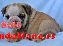 hermoso rojo y blanco bulldog inglés cachorros