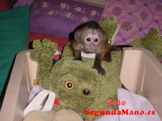 lindo bebé mono capuchino en adopción