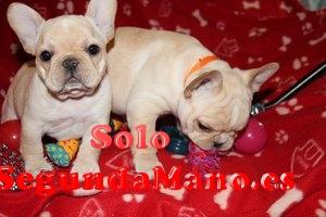 macho y hembra Bulldog francés cachorros