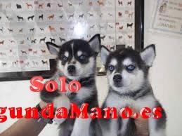 preciosos cachorros de Siberian Husky en busca de nuevos ho